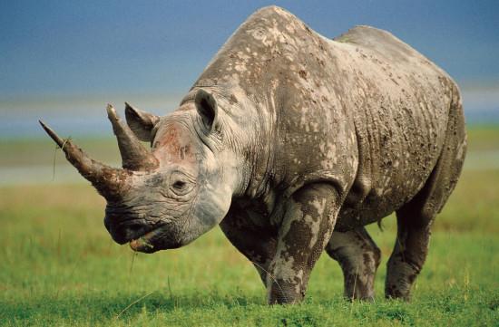 слова на букву н, носорог