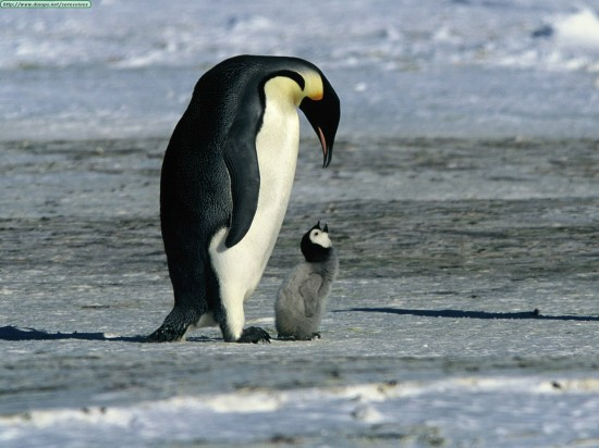 слова на букву п для детей, пингвин