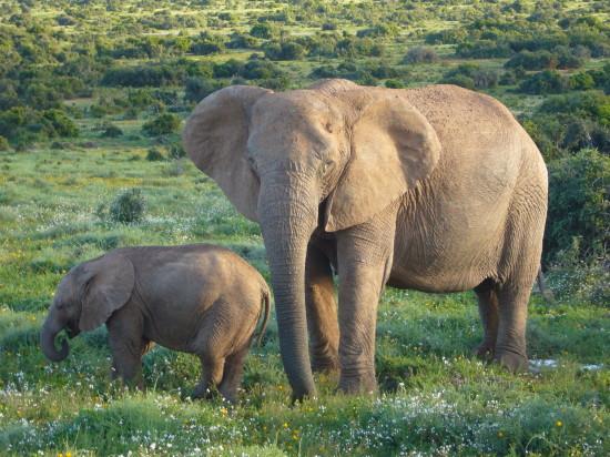 слова на букву с для детей, слон