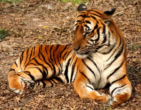 слова на букву Т для детей, тигр