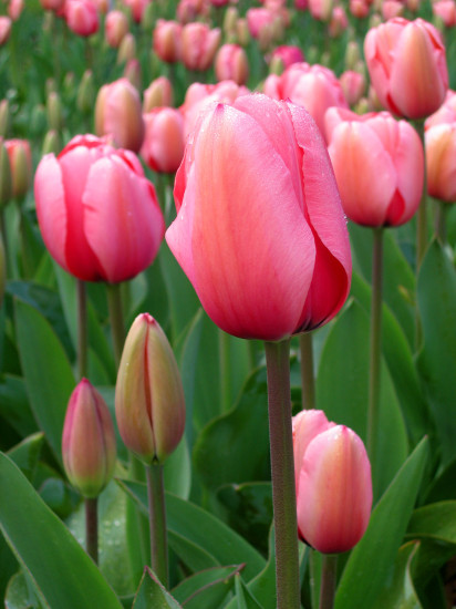 слова на букву Т для детей, тюльпан
