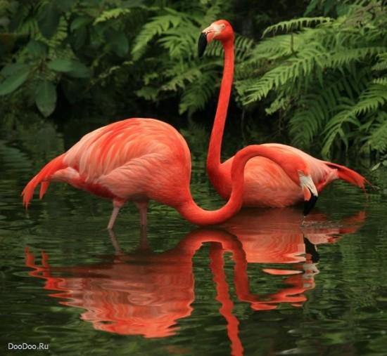 слова на букву Ф для детей, фламинго