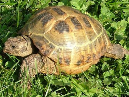 слова на букву Ч для детей, черепаха